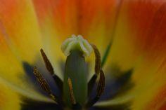 Tulppaani se on | Vesan viherpiperryskuvat – puutarha kukkii
