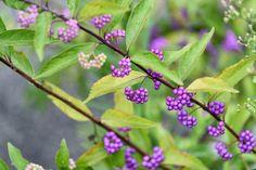 Callicarpa Dichotoma, Purple Beautyberry, Shrub, Purple Berries, Mid-Atlantic Shrub