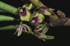 Luisia zeylanica