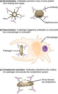 Antibody functions