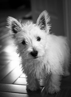 West Highland White Terriers. I could not live on this earth without one in my life.