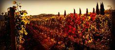 Viticcio's cab vineyard in fall colors