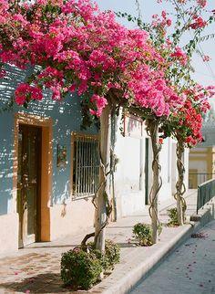 Ivy on the wall. purple bougainvillea flowers climbing on trellis. bouganvillea porch on the sidewalk of a mediterranean town. bouganvillea porpora che si arrampica su un portico sul marciapiede di una cittadina mediterranea.  #bouganvillea #flowering