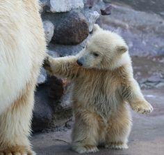 Facts and Information about Polar Bear Cub. Polar Bear Cub Description, Behavior, Feeding and Reproduction. Cute Baby Animals, Animals And Pets, Baby Polar Bears, Love Bear, Animal Facts, Bear Cubs, Pet Birds, Animals Beautiful, Mammals