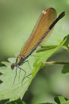 Butterflies of the UK. an insight into their lives: Beautiful Damoiselle
