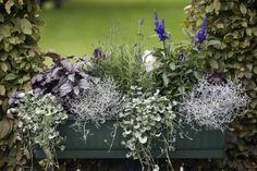 Balkonglåda med växter i blågrå nyanser. - Blomsterfrämjandet