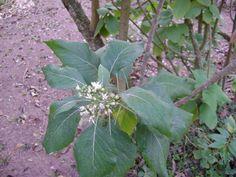 Boldo Alumã -  Vernonia condensata  Baker