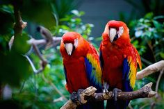 Animal Conservation Success: The Scarlet Macaw has been reintroduced into the rainforest of the Gulf of Mexico after being wiped out there 50 years ago. In early 2014, 27 macaws were released into the Biosphere Reserve/Los Tuxtlas in S Veracruz - 1st step in an effort to restore their population there. Loss of habitat & exploitation for the pet trade devastated macaw  populations there in the past. Along with reintroduction, info about these birds will be provided in the areas @ the…