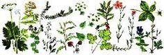 лекарственные травы на даче