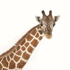 Discover why giraffes are much more than the world's tallest mammals. Learn how their young are welcomed, rather rudely, into the world.
