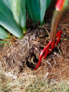 dividing bearded iris digging with a fork Growing Irises, Growing Orchids, Growing Flowers, Growing Plants, Iris Rhizomes, Dwarf Plants, New Roots, Iris Garden, Bearded Iris