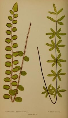 1856-60  -  v.3 -  Ferns: British and exotic... By  Lowe, E. J. - NZ NATIVE