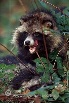 Tanuki (also known as the Japanese racoon dog)