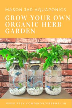 "Keeping a Small-Scale Aquaponics System Clean – Green PLUR ""Break-Through Organic Gardening Secret Grows You Up To 10 Times The Plants, In Half The Time, With Healthier Plants, While the Fish Do All the Work. Mason Jar Plants, Mason Jar Herb Garden, Herb Garden Kit, Plants In Jars, Mason Jars, Fish Garden, Pot Mason, Mason Jar Terrarium, Hydroponic Herb Garden"