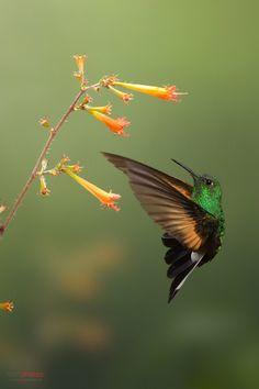 Stripe-tailed Hummingbird