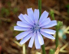 KARA HİNDİBA, MAVİ SÜTLEĞEN, ACI MARUL CICHORIUM INTHYBUS L. (Compositae-fam.) Bulunduğu Yerler: Çayırlarda, harap yerlerde, yol boylarında, işlenmiş ve işlenmemiş yerlerde, anızlarda ve hemen her yerde yetişir. Yapısı: 1,20 cm. kadar yüksek olan sap hafif kıllı, köşeli, çok yıllık otsu bir bitkidir