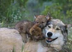 Wolves... but it still counts in my book.