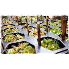 Baby Venus Fly Traps  Class of 2016 from natural propagation (off shoots)...  #gothictraps #vancouver #bc #canada #plants #carnivoroustagram #carnivorousplant #carnivorousplants #dionaea #muscipula #dionaeamuscipula #venus #flytrap #venusflytrap #vft #narcityvancouver #vancouverofficial #vancitybuzz #iamvancouver #typicalvancouver #vancityfeed #vancityhype #wearevancouver #vancouver_canada #discovervancouver #veryvancouver #vancouverize #604now #myvancouverlife by gothictraps