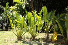 Philodendron auriculatum