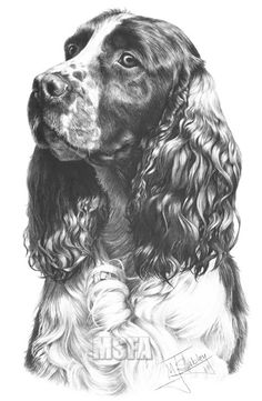 Top quality open edition head study canine art, dog prints from graphite pencil drawing by Mike Sibley. The art of dogs in Limited and Open Editions. Cocker Spaniel, English Springer Spaniel, English Cocker, Animal Paintings, Animal Drawings, Realistic Drawings Of Animals, Drawings Of Dogs, Dog Pencil Drawing, Dog Portraits