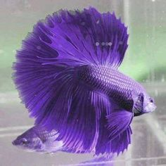 Purple betta fish are SUPER rare but so pretty