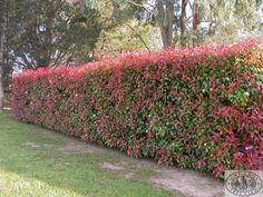 Photinia robusta. Fast growing, evergreen hybrid with large leaves. Grows fast upright then fills out. Clear white flowers. Hardy. Max height 6m and maximum canopy 4m. Prune late spring and autumn.