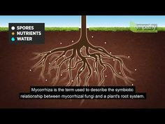 How do Mycorrhizal Fungi help your plants to grow? This video will tell you everything you need to know about this remarkable symbiotic relationship. Hedging Plants, Shrubs, Orange Roses, Pink Roses, Magnolia Trees, Deciduous Trees, Prunus, Small Trees, Hedges