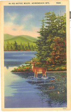 Vintage New York Linen Postcard Adirondack Mountains Deer In His Native Wilds