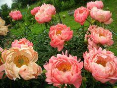 пион Coral Beach: 10 тыс изображений найдено в Яндекс.Картинках Rose, Flowers, Plants, Image, Pink, Plant, Roses, Royal Icing Flowers, Flower