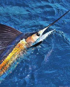 Stuart Florida sailfish #fishing