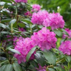 RODODENDRON Vitenskapelig navn: Rhododendron