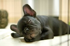 It's hard being a French Bulldog Puppy