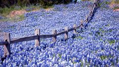 Gorgeous displays of Bluebonnets right now in the Hill Country - take a wine tour with us - we tour 7 days a week. Be sure & let us know you found us on Twitter or Pinterest