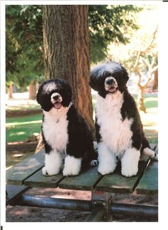 black white portugese water dog