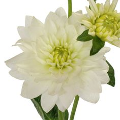 Fresh cut white Dahlia flowers are decorative globe-shaped flowers with many colorful petals. This white Dahlia is shipped fresh and direct from our farm and wo Wedding Flower Arrangements, Floral Arrangements, Monterey Wedding, Peruvian Lilies, White Dahlias, Cheap Wedding Flowers, Globe Decor, Rose Stem, Open Rose