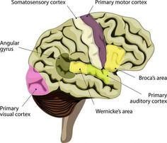 cortex cerebral