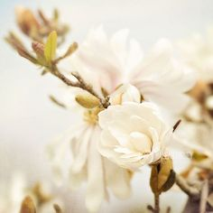 Magnolia Flower Blossoms Photo by MaleahTorney #flowers #photography #art