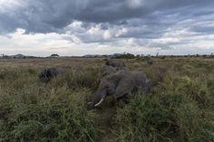 Un safari pour notre voyage de noces !   Mademoiselle Dentelle Nocturne, Destinations, Mademoiselle, Parcs, Elephant, Group Of Lions, Private Plane, Tanzania, Savannah