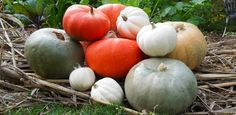 Learn how to process and eat your incredible, edible pumpkin. Also, learn how to eat other edible parts of your pumpkin: flowers, leaves, and seeds! Container Gardening, Gardening Tips, Pumpkin Facts, Incredible Edibles, Small Space Gardening, Edible Plants, Pumpkin Recipes, Tossed, Halloween Pumpkins