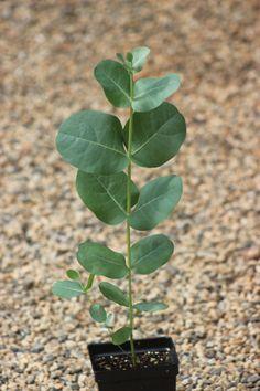 Eucalyptus neglecta 'Big O' Eucalyptus Tree