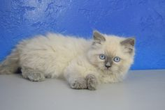 Kassidy - Blue Point Female Ragamuffin Kitten