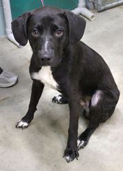 26421 SLICK is an adoptable Black Labrador Retriever Dog in Saint Joseph, MO. #26421 SLICK is a skinny, black and white, Lab mix male who is between 1 and 3 years old, according to his cage card, and ...