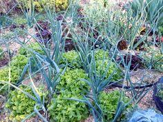 Grönsaker i djupgrävd bädd