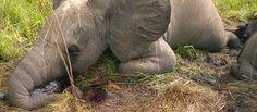 Elefanten-Mord für Chinas Gier nach Elfenbein. Chinesische Schmuggler sind verantwortlich für den Tod Tausender Elefanten in Afrika. Vor allem in Tansania spitzt sich die Lage für die Tiere dramatisch zu, weil Wilderer in internationalen, kriminellen Banden arbeiten. (Foto: Nuria Ortega/African Parks Network) https://www.regenwald.org/aktion/975#md=social&cn=petition-975&ct=de&sr=pinterest
