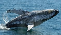 Walbeobachtungstouren in Hervey Bay - Was kannst du erwarten? Baleen Whales, Wale, Humpback Whale, Whale Watching, Dolphins, Wildlife, Ocean, Adventure, Animals