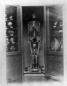 Galerie d'anthropologie : vitrine des squelettes humains adulte et enfant    Dollot Auguste (1841-1924)