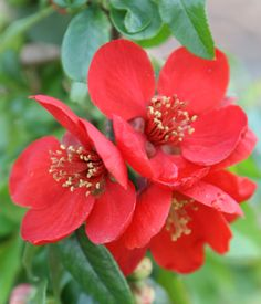 Buy flowering quince Chaenomeles × superba 'Crimson and Gold': Delivery by Waitrose Garden in association with Crocus