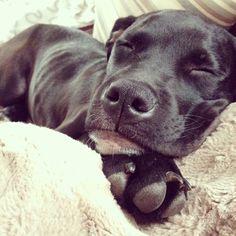 Besties, Boxer, Labrador Retriever, Dogs, Animals, Labrador Retrievers, Animales, Animaux, Doggies