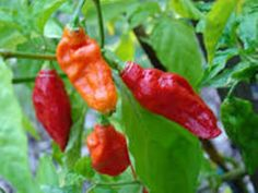 """The chilis with the highest rating on the Scoville scale exceed one million Scoville units, and include specimens of naga jolokia or bhut jolokia and its cultivar, the """"ghost chili"""", which does not have official cultivar status. The Carolina Reaper is currently the highest rated pepper in the world."""