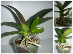 Размножение орхидей фаленопсиса в домашних условиях!